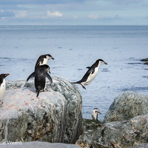 2017-01-01 - Jump!<br/>Chinstrap Camp - Elephant Island - Antarctica<br/>Canon EOS 5D Mark III - 120 mm - f/8.0, 1/1250 sec, ISO 400