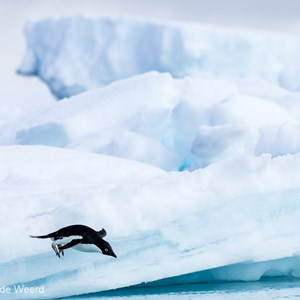 2017-01-02 - Yeah, I can fly...<br/>Kinnes Cove - Joinville Island - Antarctica<br/>Canon EOS 7D Mark II - 400 mm - f/8.0, 1/2000 sec, ISO 400