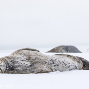 2017-01-04 - Weddellzeehond (Leptonychotes weddellii)<br/>Half Moon Island - South Shetland Islands - Antarctica<br/>Canon EOS 7D Mark II - 135 mm - f/8.0, 1/1600 sec, ISO 640