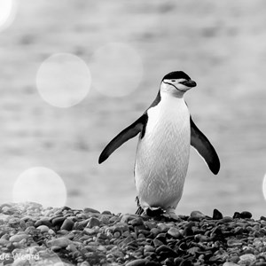 2017-01-04 - Kinbandppinguïn met bokeh bubbles<br/>Half Moon Island - South Shetland Islands - Antarctica<br/>Canon EOS 7D Mark II - 340 mm - f/8.0, 1/1250 sec, ISO 1250
