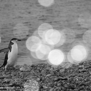 2017-01-04 - Kinbandppinguïn met bokeh bubbles<br/>Half Moon Island - South Shetland Islands - Antarctica<br/>Canon EOS 7D Mark II - 190 mm - f/8.0, 1/800 sec, ISO 500