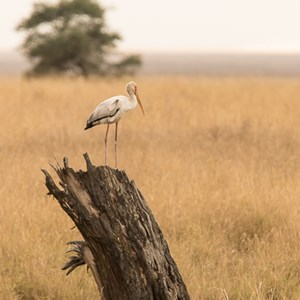 2015-10-19 - Afrikaanse Nimmerzat (Mycteria ibis, Yellow-billed stork)<br/>Serengeti National Park - Tanzania<br/>Canon EOS 7D Mark II - 420 mm - f/5.6, 1/640 sec, ISO 1000