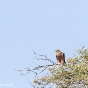 2015-10-20 - Roofvogel, maar welke?<br/>Serengeti National Park - Tanzania<br/>Canon EOS 7D Mark II - 420 mm - f/5.6, 1/640 sec, ISO 160