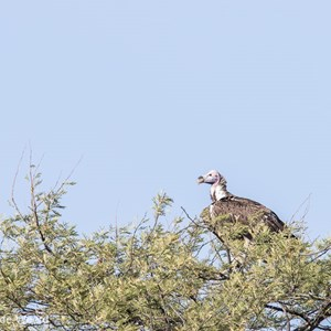 2015-10-20 - Oorgier (Torgos tracheliotos, Lappet-faced vulture)<br/>Serengeti National Park - Tanzania<br/>Canon EOS 7D Mark II - 420 mm - f/5.6, 1/500 sec, ISO 160