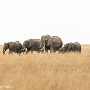 2015-10-20 - Familie olifant op de vlakte<br/>Serengeti National Park - Tanzania<br/>Canon EOS 7D Mark II - 420 mm - f/5.6, 1/640 sec, ISO 250