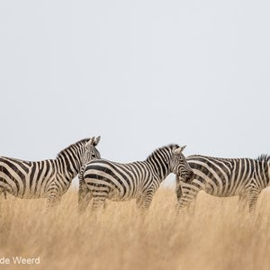 2015-10-20 - Drie op een rij<br/>Serengeti National Park - Tanzania<br/>Canon EOS 7D Mark II - 420 mm - f/4.0, 1/1000 sec, ISO 250