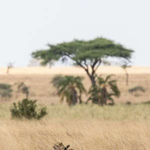 2015-10-20 - De prooi is nog in het vizier<br/>Serengeti National Park - Tanzania<br/>Canon EOS 7D Mark II - 420 mm - f/5.6, 1/1000 sec, ISO 400