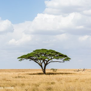 2015-10-20 - Parasolboom<br/>Serengeti National Park - Tanzania<br/>Canon EOS 5D Mark III - 70 mm - f/8.0, 1/500 sec, ISO 200