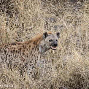 2015-10-20 - Wat een knapperd is het toch, de hyena<br/>Serengeti National Park - Tanzania<br/>Canon EOS 7D Mark II - 420 mm - f/5.6, 1/1000 sec, ISO 1000