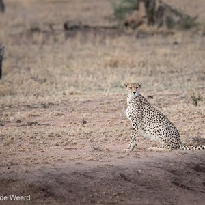 2015-10-21 - Cheeta in de vroege ochtend<br/>Serengeti National Park - Tanzania<br/>Canon EOS 7D Mark II - 420 mm - f/5.6, 1/80 sec, ISO 1600