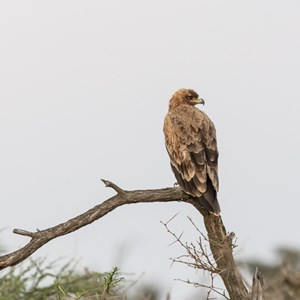 2015-10-21 - Savanne arend (Aquila rapax, Tawny Eagle)<br/>Serengeti National Park - Tanzania<br/>Canon EOS 7D Mark II - 420 mm - f/5.6, 0.01 sec, ISO 1600