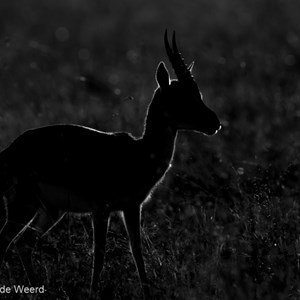 2015-10-21 - Thomsongazelle in tegenlicht<br/>Serengeti National Park - Tanzania<br/>Canon EOS 7D Mark II - 420 mm - f/5.6, 1/2000 sec, ISO 100