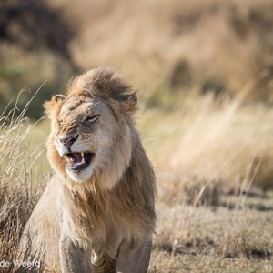 2015-10-21 - Leeuw<br/>Serengeti National Park - Tanzania<br/>Canon EOS 7D Mark II - 420 mm - f/5.6, 1/1000 sec, ISO 400