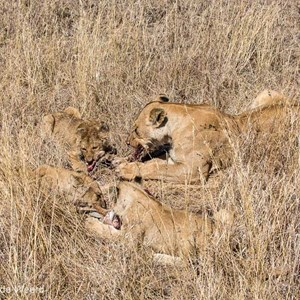2015-10-21 - Leeuwen met prooi<br/>Serengeti National Park - Tanzania<br/>Canon EOS 5D Mark III - 70 mm - f/8.0, 1/800 sec, ISO 200