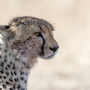 2015-10-21 - Cheeta portret<br/>Serengeti National Park - Tanzania<br/>Canon EOS 7D Mark II - 420 mm - f/5.6, 1/1250 sec, ISO 640