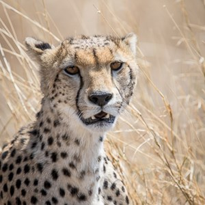 2015-10-21 - Cheeta portret in het gele gras<br/>Serengeti National Park - Tanzania<br/>Canon EOS 7D Mark II - 420 mm - f/5.6, 1/1250 sec, ISO 320
