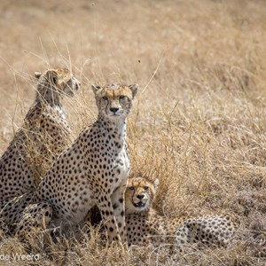 2015-10-21 - Cheeta familie<br/>Serengeti National Park - Tanzania<br/>Canon EOS 5D Mark III - 200 mm - f/5.6, 1/1000 sec, ISO 200