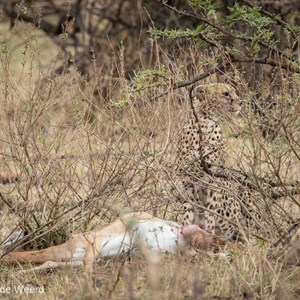 2015-10-22 - Cheeta met prooi<br/>Serengeti National Park - Tanzania<br/>Canon EOS 7D Mark II - 420 mm - f/5.6, 1/800 sec, ISO 1600