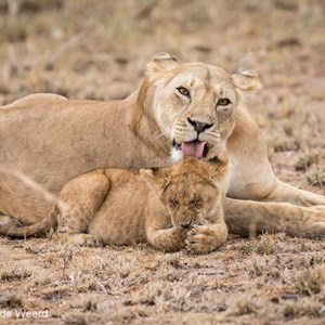 2015-10-23 - En nog maar een flinke lik over de kop<br/>Serengeti National Park - Tanzania<br/>Canon EOS 7D Mark II - 300 mm - f/4.0, 1/500 sec, ISO 1600