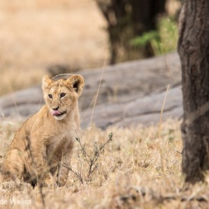 2015-10-23 - Even de tong uitsteken<br/>Serengeti National Park - Tanzania<br/>Canon EOS 7D Mark II - 420 mm - f/5.6, 1/250 sec, ISO 640