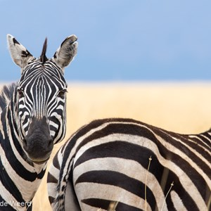 2015-10-23 - Zebra - are you looking at me?<br/>Serengeti National Park - Tanzania<br/>Canon EOS 7D Mark II - 420 mm - f/8.0, 1/250 sec, ISO 125