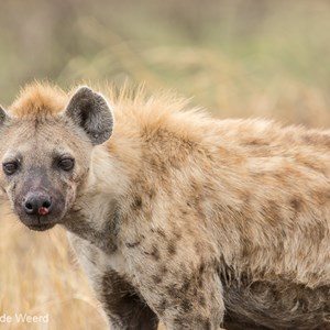 2015-10-23 - Hyena<br/>Serengeti National Park - Tanzania<br/>Canon EOS 7D Mark II - 420 mm - f/4.5, 1/400 sec, ISO 100