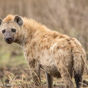 2015-10-23 - Hyena<br/>Serengeti National Park - Tanzania<br/>Canon EOS 7D Mark II - 420 mm - f/4.5, 1/320 sec, ISO 100
