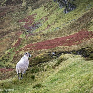 2016-10-18 - Schots Blackface schaap op de uitkijk<br/>The Quiraing - Trotternish - Schotland<br/>Canon EOS 5D Mark III - 70 mm - f/8.0, 0.1 sec, ISO 200