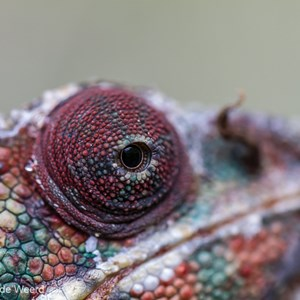 2013-07-24 - Kameleon-oog in close-up<br/>Madagascar Exotic - Marozevo - Madagaskar<br/>Canon EOS 7D - 100 mm - f/3.5, 1/200 sec, ISO 800