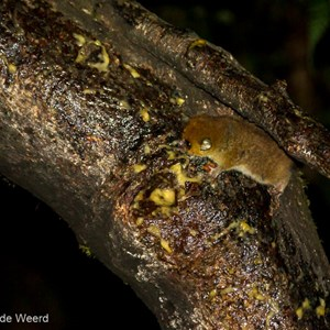 2013-07-30 - Rode muismaki / Brown mouse lemur (Microcebus rufus)<br/>Ranomafana - Madagaskar<br/>Canon EOS 7D - 105 mm - f/4.5, 1/60 sec, ISO 1600