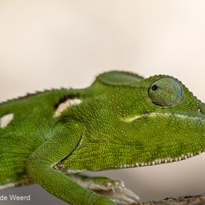 2013-08-01 - Kameleon close-up<br/>Anja Park - Ambalavao - Madagaskar<br/>Canon EOS 7D - 100 mm - f/2.8, 1/250 sec, ISO 200