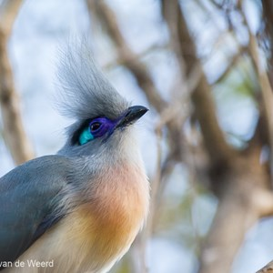 2013-08-11 - Kuifcoua / Crested Coua (Coua cristata)<br/>Kirindy Private Reserve - Morondava - Madagaskar<br/>Canon EOS 7D - 400 mm - f/5.6, 1/200 sec, ISO 1600