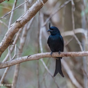 2013-08-11 - Haarkuifdrongo (Dicrurus hottentottus)<br/>Kirindy Private Reserve - Morondava - Madagaskar<br/>Canon EOS 7D - 400 mm - f/5.6, 1/60 sec, ISO 1600