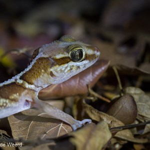2013-08-11 - Big headed gecko (Paroedura pictus)<br/>Kirindy Private Reserve - Morondava - Madagaskar<br/>Canon EOS 7D - 100 mm - f/4.0, 0.02 sec, ISO 1600