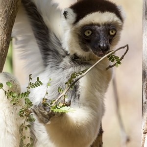 2013-08-12 - Verreaux Sifaka (Propithecus verreauxi)<br/>Kirindy Private Reserve - Morondava - Madagaskar<br/>Canon EOS 7D - 400 mm - f/5.6, 1/400 sec, ISO 400