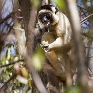2013-08-12 - Verreaux Sifaka (Propithecus verreauxi)<br/>Kirindy Private Reserve - Morondava - Madagaskar<br/>Canon EOS 7D - 400 mm - f/5.6, 1/800 sec, ISO 400
