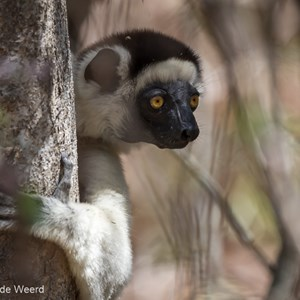 2013-08-12 - Verreaux Sifaka (Propithecus verreauxi)<br/>Kirindy Private Reserve - Morondava - Madagaskar<br/>Canon EOS 7D - 400 mm - f/5.6, 1/250 sec, ISO 400