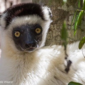 2013-08-12 - Verreaux Sifaka (Propithecus verreauxi)<br/>Kirindy Private Reserve - Morondava - Madagaskar<br/>Canon EOS 7D - 400 mm - f/5.6, 1/500 sec, ISO 800