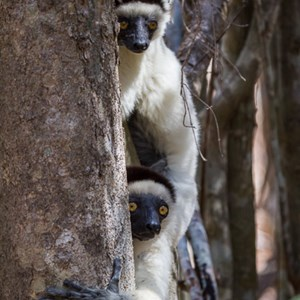 2013-08-12 - Verreaux Sifaka (Propithecus verreauxi)<br/>Kirindy Private Reserve - Morondava - Madagaskar<br/>Canon EOS 7D - 220 mm - f/5.6, 1/400 sec, ISO 800