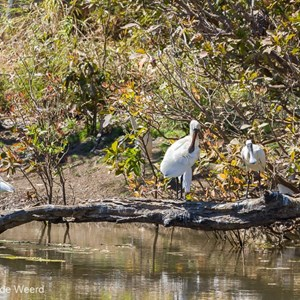 2011-07-23 - Lepelaars<br/>Cockatoo Lagoon - Keep River National Park - Australië<br/>Canon EOS 7D - 400 mm - f/8.0, 1/400 sec, ISO 200