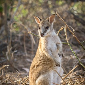 2011-07-26 - Wallaby<br/>Mataranka Homestead Resort - Elsey National Park - Australië<br/>Canon EOS 7D - 130 mm - f/5.0, 1/250 sec, ISO 200