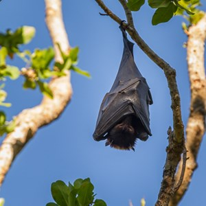 2011-07-30 - Fruit bat<br/>Wangi Falls Campground - Litchfield National Park - Australië<br/>Canon EOS 7D - 400 mm - f/8.0, 1/160 sec, ISO 400