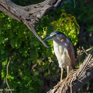 2011-08-01 - Rosse kwak (Nycticorax caledonicus)<br/>Yellow River - Kakadu National Park - Australië<br/>Canon EOS 7D - 150 mm - f/5.6, 1/800 sec, ISO 400