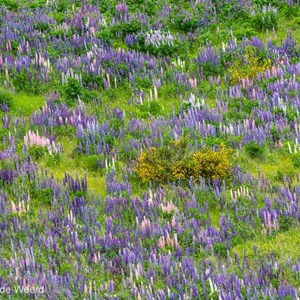 2018-12-09 - Lupines overal<br/>Onderweg - Te Anau - Milford Sound - Nieuw-Zeeland<br/>Canon EOS 5D Mark III - 400 mm - f/5.6, 1/125 sec, ISO 400